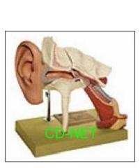人體模型 Ear