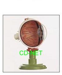 人體模型 Eyeball