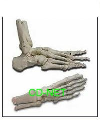 人體模型 Hand-Foot