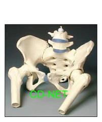 人體模型 Pelvis