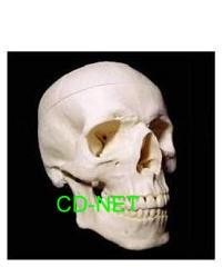 人體模型 Skull