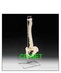 人體模型 Spines-01