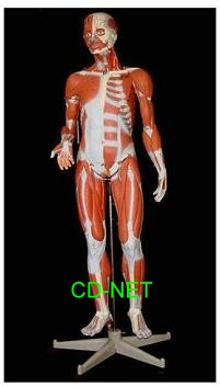 人體模型 Muscular Torso